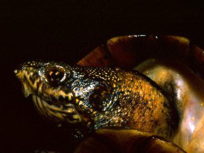 Scorpion Mud Turtle Head (Kinosternon_scorpioides)