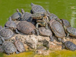 Semi Aquatic Turtles