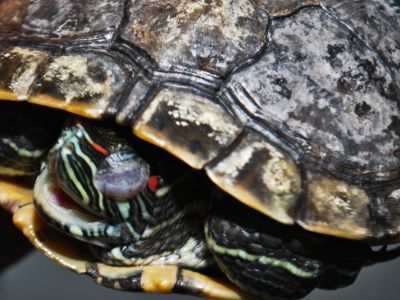 Shell_rot_in_red eared slider