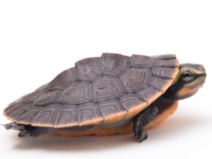 Side view of Pink Belly Sideneck Turtle