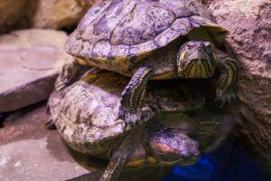 Slider turtle stacked on a red ear slider