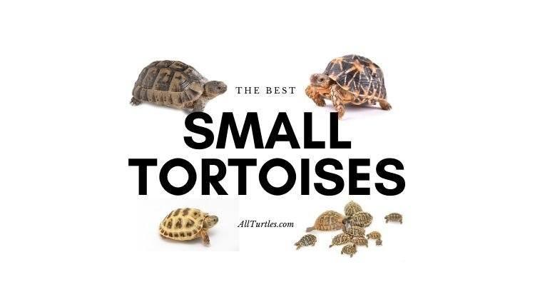 Small Tortoises