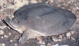 Smooth-Softshell-Turtle