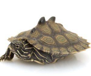 Southern Black-Knob Map Turtle (Graptemys nigrinoda) on white background