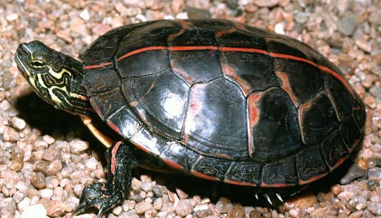 Matamata Turtle Chelus Fimbriata All Turtles Get your new pet today! matamata turtle chelus fimbriata