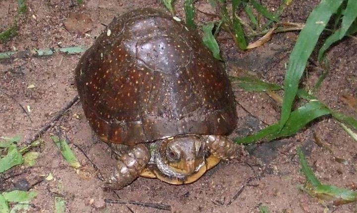 Southern Spotted Box Turtle (Terrapene nelsoni nelsoni)