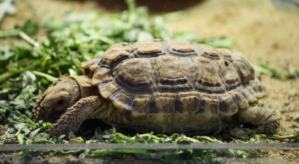 Speckled Tortoise (Chersobius Signatus)