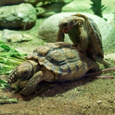 Speckled Cape Tortoises mating (Chersobius Signatus)