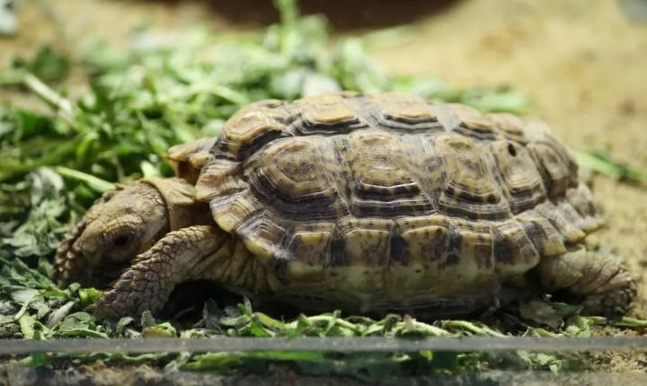 A speckled tortoise also known as a Speckled Cape Tortoise or a Speckled Padloper Tortoise in an enclosure.