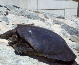 Spiny Soft shell Turtle, Dundee Dam, New_Jersey
