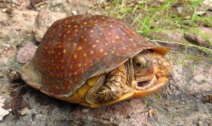 Spotted Box Turtle (Terrapene nelsoni)