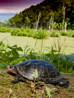 Spotted Turtle (Clemmys guttata) walking near edge of the pond