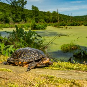 Spotted turtle on grass near pond
