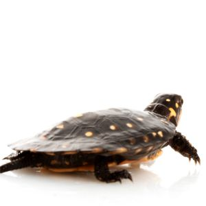 Spotted turtle on white background