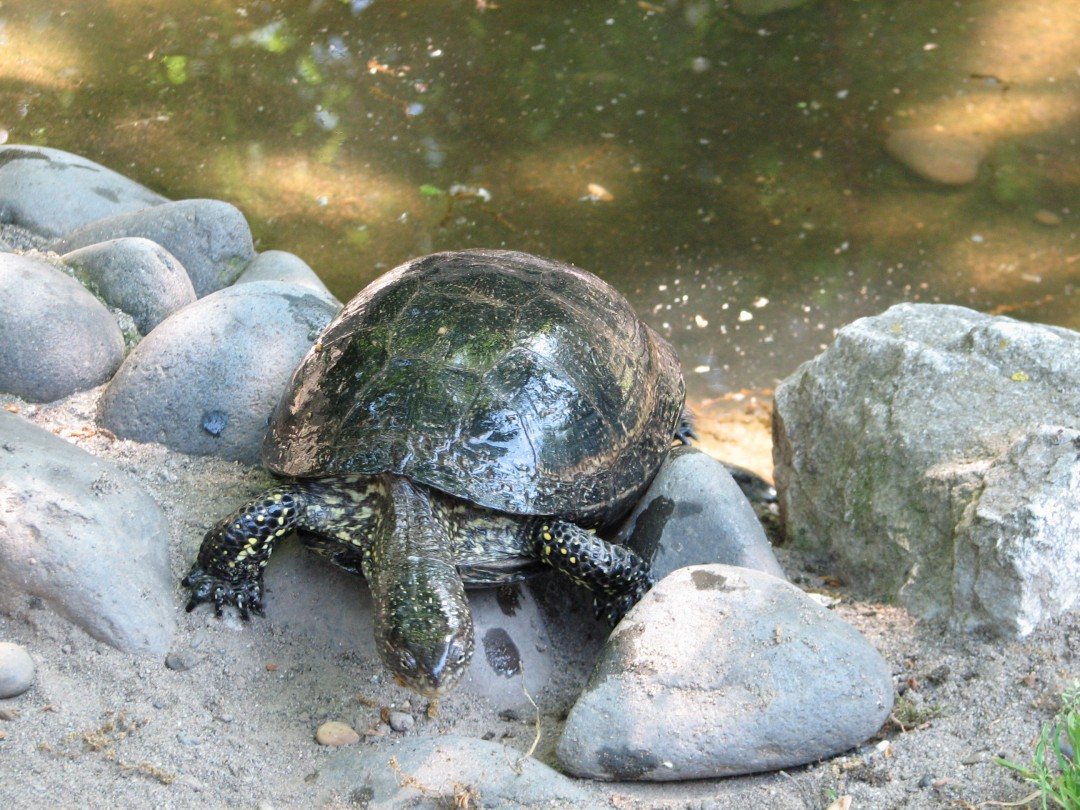 Spotted turtle wet