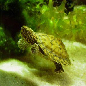 Stripe-necked musk turtle (Sternotherus minor peltifer) Hatchling 2 months old