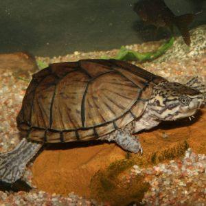 Stripe-necked musk turtle (Sternotherus minor peltifer) swimming in tank