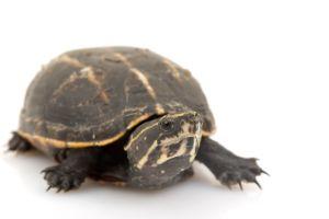 Three Striped Mud Turtle (Kinosternon Baurii)