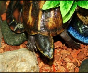 Striped mud turtle (Kinosternon_baurii) in the wild
