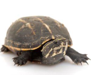 Striped mud turtle on white background