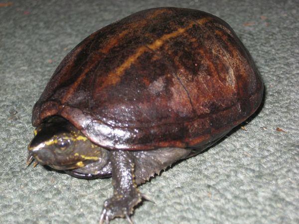 Brown Striped Mud Turtle