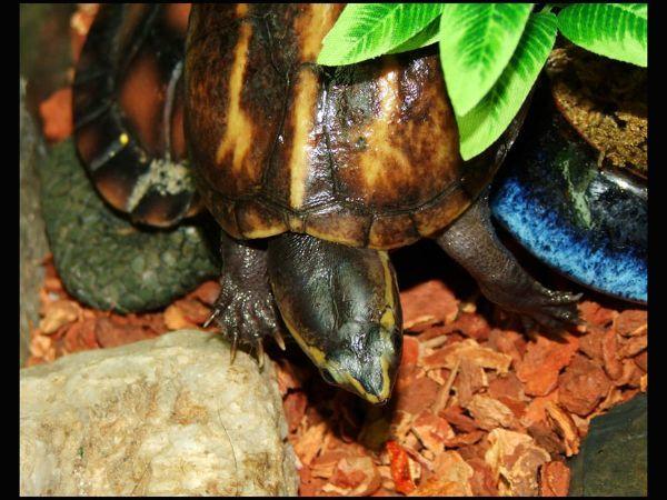 Striped mud turtle (Kinosternon_baurii)
