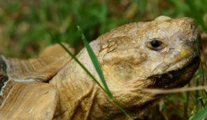 Sulcata Tortoise Head