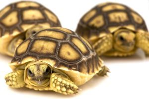 Sulcata-Tortoises