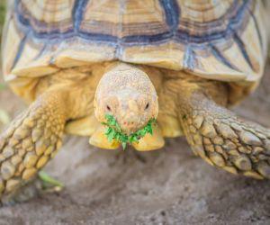 Sulcata tortoise eating (centrochelys-sulcata)