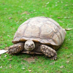 Sulcata tortoise in grass