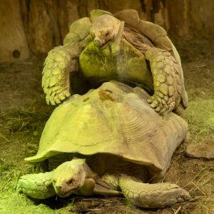 Sulcata tortoises mating