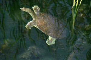 Texas Spiny Softshell turtle (Apalone Spinifera Emoryi)