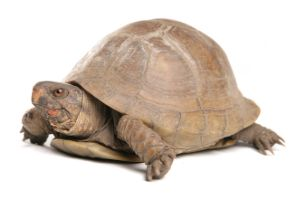 Three-toed box turtle on white