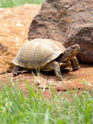 Three-toed box turtle (terrapene carolina triunguis) outdoors, against a rock and grass backdrop