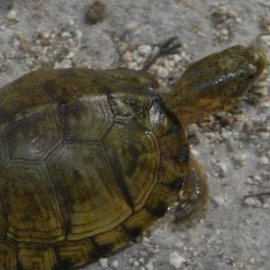 Top of a Yucatan Box Turtle (Terrapene carolina yucatana)
