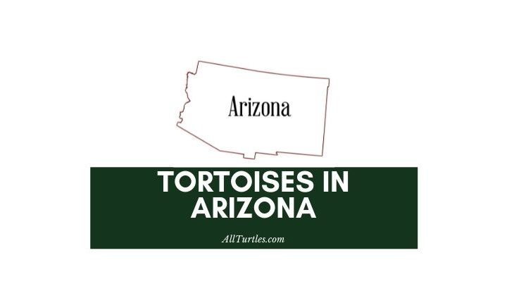 Tortoises in Arizona