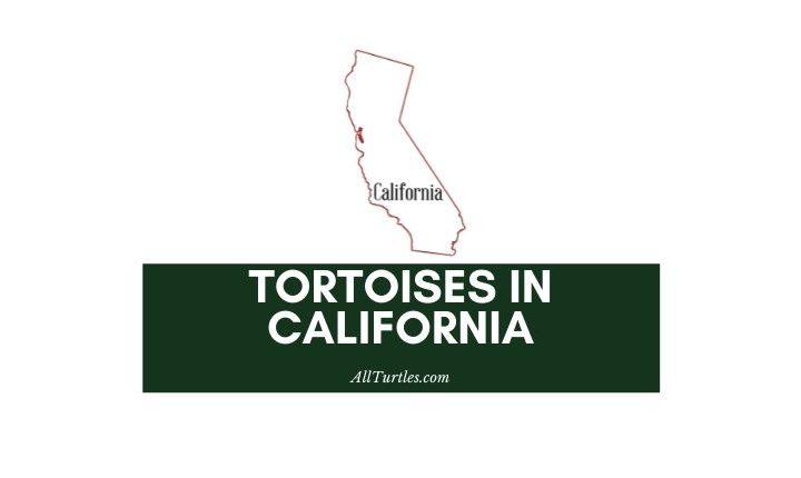 Tortoises in California