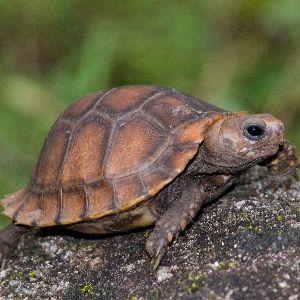 Travancore Tortoise (Indotestudo_travancorica) on rock by Sandeep Das