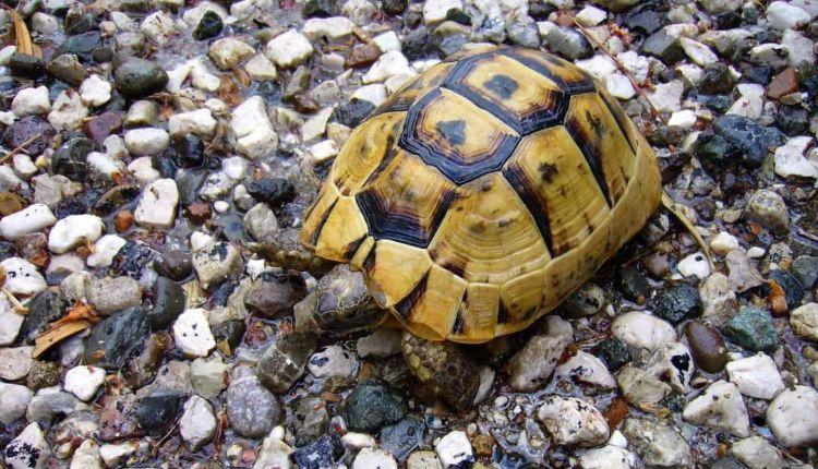 Turtle Ate Rock