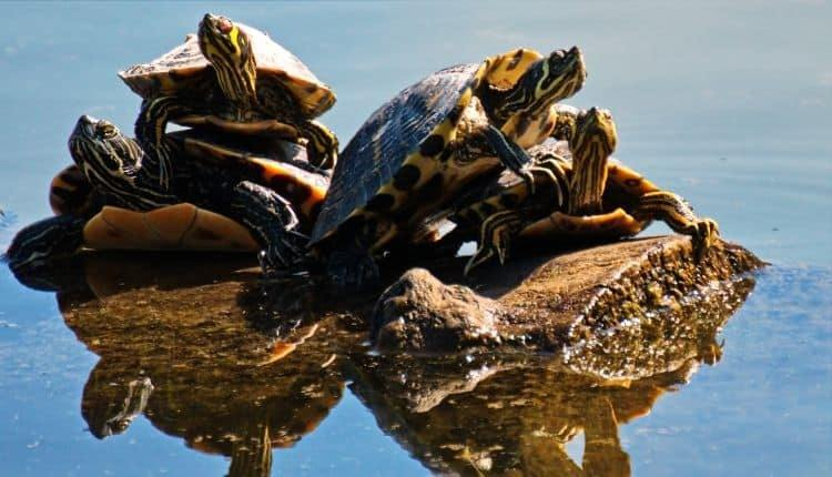 Turtle Faqs All Your Questions Answered All Turtles