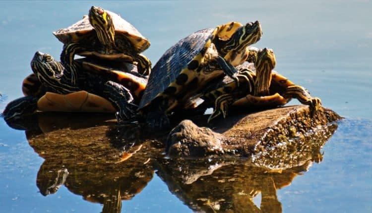 Turtle FAQ