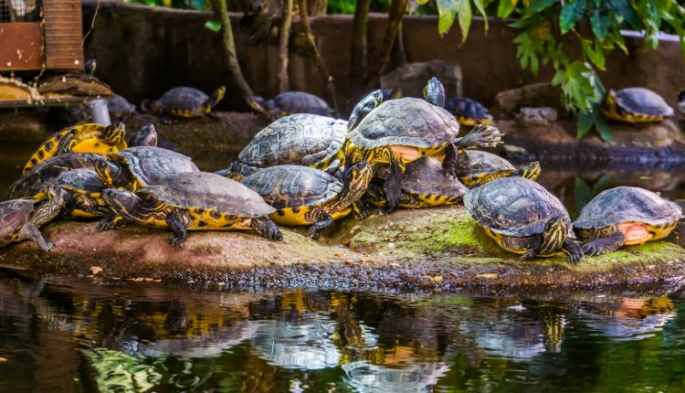 Turtle Stacking (yellow-bellied sliders & cumberland sliders stacking on one another)