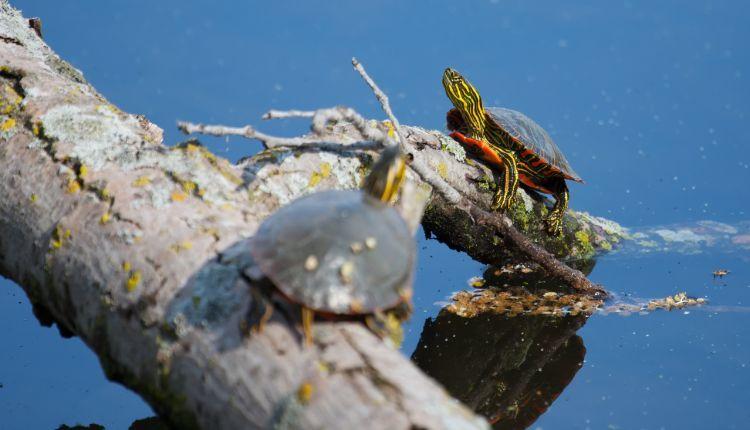 Turtle basking (painted-turtles-basking-in-the-sun)