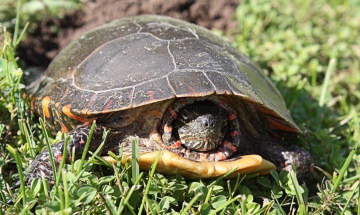 Turtle nesting box