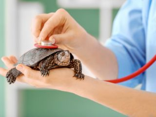 Turtle respiratory infection