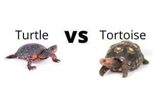 Turtle vs Tortoise cost