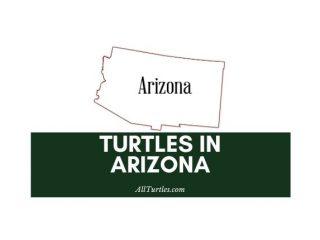Turtles in Arizona