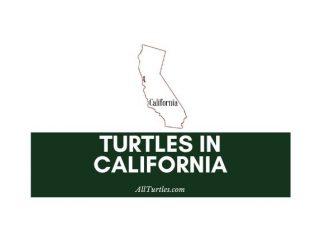 Turtles in California