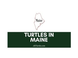 Turtles in Maine