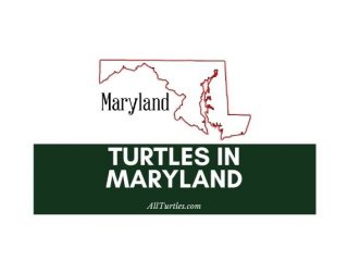 Turtles in Maryland